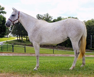 US Good as Gone Born to Win Horse sale